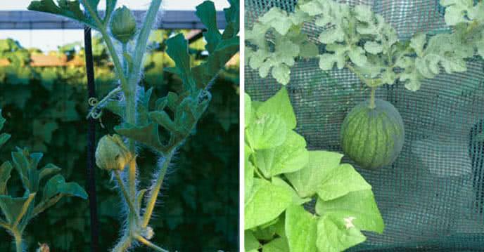 Cách trồng cây dưa hấu, dưa lưới, dưa lê ăn cả năm ảnh 1