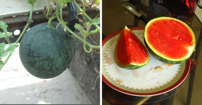 Cách trồng cây dưa hấu, dưa lưới, dưa lê ăn cả năm ảnh 2